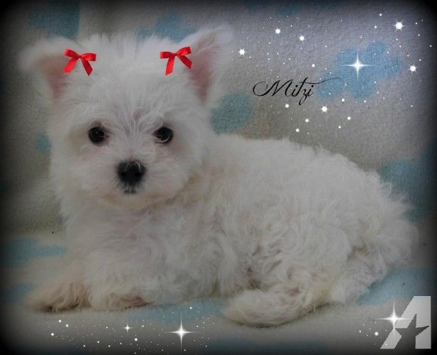 Pin By Paula Riddlebaugh On Teacup Maltese Puppies Maltese Dogs