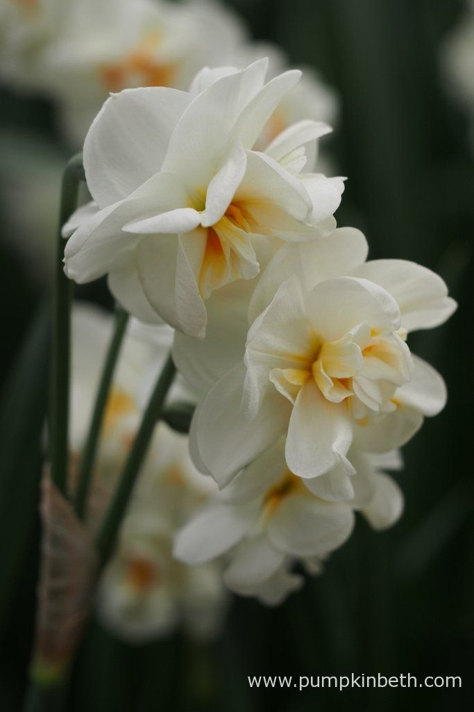 Narcissus 'Sir Winston Churchill' pictured during my Scented Daffodil Trial - Pumpkin Beth