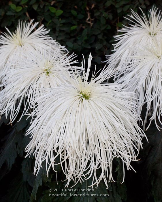 Chrysanthemum Spider Type | ... tell – they really are one of my favorite types of chrysanthemums