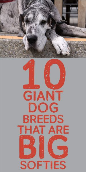 10 Giant Dog Breeds That Are BIG Softies! <3 Dosappointed Ridgebacks aren't on the list but I'd have any of these :)