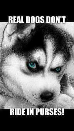 Siberian Husky rules lol