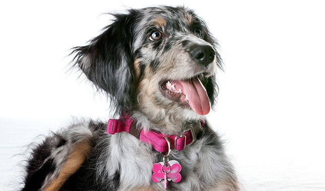 Everything you want to know about Aussiedoodles including grooming, training, health problems, history, adoption, finding good breeder and more.