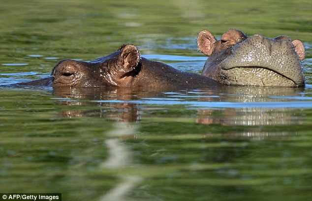 Mr Leon said costly and tricky attempts to castrate the hippos to curb their spread have not made much progress, and only four have been castrated