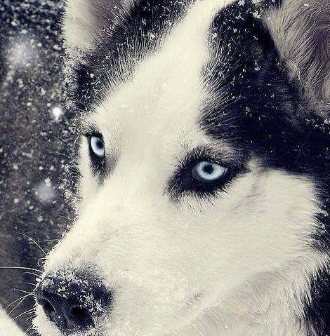 the eyes r just like my late husky 'Sabers'.... totally awesome..