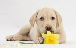 Žlutý labradorský retrívr štěně ležící s narcis