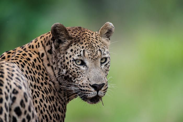 Two #leopards fight for #survival over a warthog   Luxury African Safari - The #Londolozi Video Blog