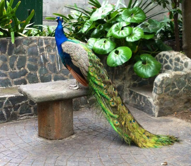 Påfågel, peacock