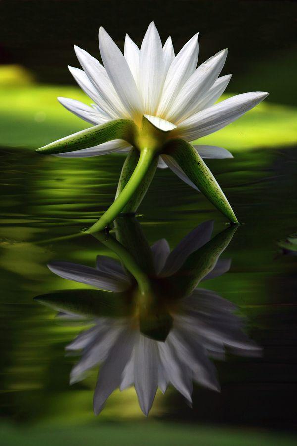 55 best lotus flowers water lilies images on pinterest lotus flowersgardenlove white lady by yume flowers garden love mightylinksfo