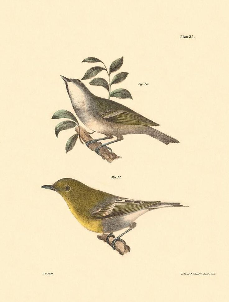 """Plate 035 from """"Zoology of New York, or the New-York Fauna, Part II, Birds"""" by James Ellsworth De Kay (J. F. Schreiber, 1844). Artist: J. W. (John William) Hill; lithographer: George Endicott; and Packard, Gavit & Co."""