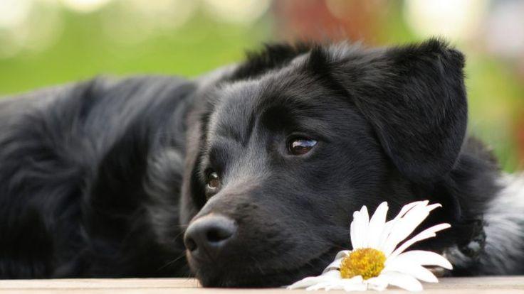 """""""Devo sacrificar meu cachorro?"""" – Essa é uma pergunta que infelizmente muitas pessoas acabam fazendo mais cedo ou mais tarde. Ver o sofrimento do animal é muito doloroso e muitos veterinários acabam aconselhando a eutanásia. Mas cuidado, alguns veterinários aconselham eutanásia para coisas totalmente contornáveis, como por exemplo, a paralisia dos membros traseiros. Não é […]"""