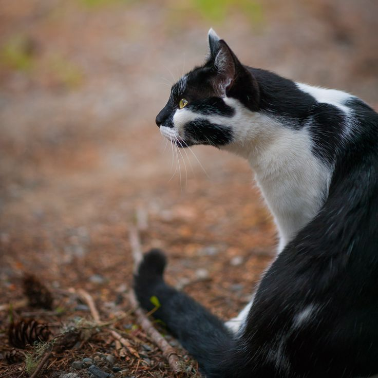 Black and White Cat on High Alert by Ebony Logins www.redcedarphoto.com