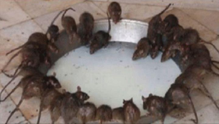 Ratones; una especie de plaga que suele invadir nuestro hogar, gracias a su diminuto tamaño y su gran velocidad al moverse pueden esconderse bastante bien para que no la podamos atrapar. En fin, convierten nuestro espacio de tranquilidad y reflexión en un verdadero desastre. Por lo general, las ratas se alimentan de las sobras de …