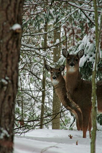 Winter day in the country - deer, snow