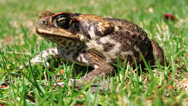Cane toads have reportedly wiped out entire species of animals in WA s Purnululu National Park.