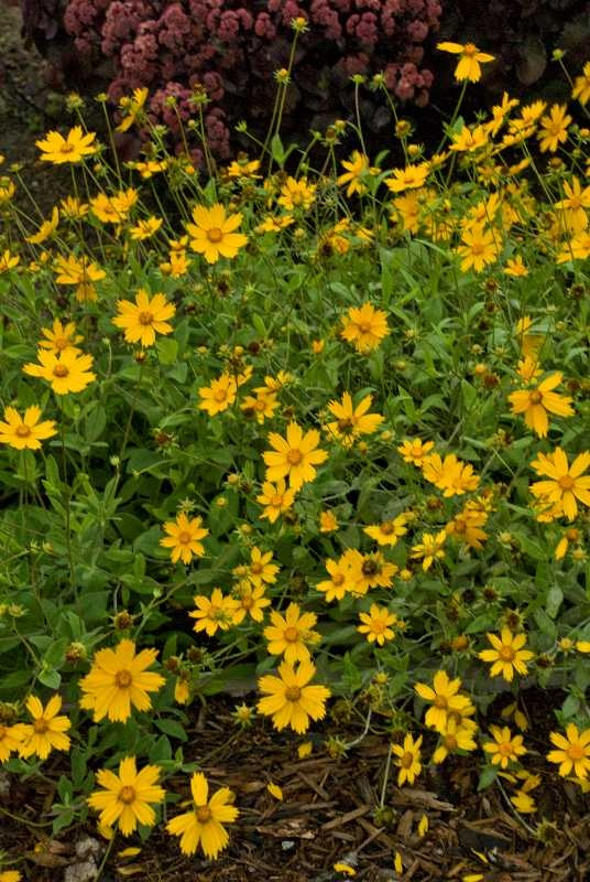 256 best images about eastern nc native plants that can be used for gardening on pinterest