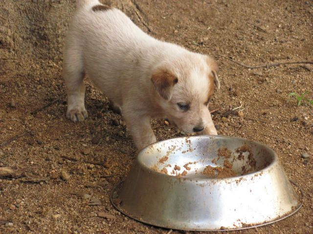 Stumpy Tail Australian Cattle Dog | FOR SALE: AUSTRALIAN STUMPY TAIL CATTLE DOG PUPS - RED
