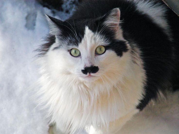Estremamente Oltre 25 fantastiche idee su Gatti bianchi su Pinterest | Gattini  KR65