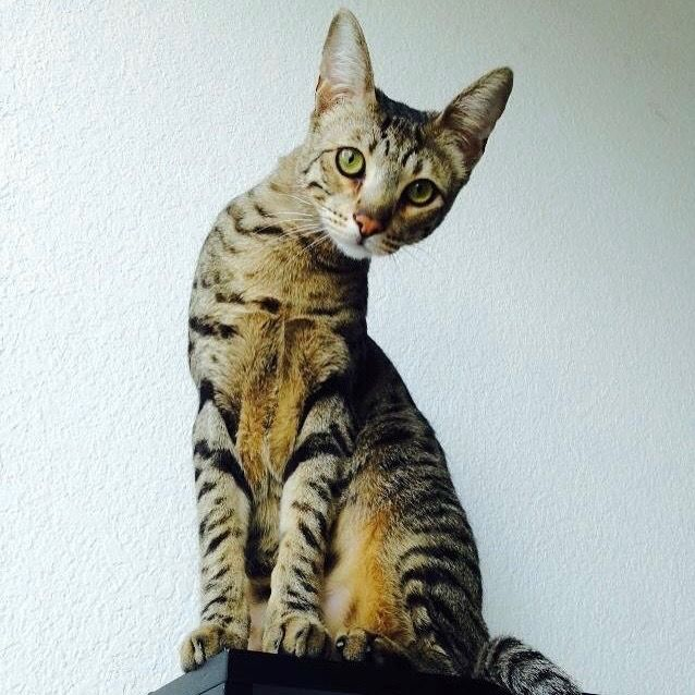 Django The F5 Savannah Cat F5 Savannah Cat Savannah Cat Cat Purr