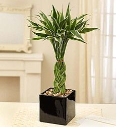 Indoor Bamboo Plants, Care Of Lucky, Plants For Sale, Care For ...