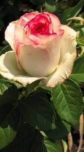 Картинки по запросу роза сорт белла вита
