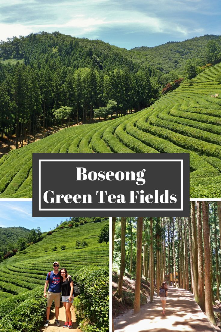 Boryeong Green Tea Fields in South Korea. Things to do and how to get there.