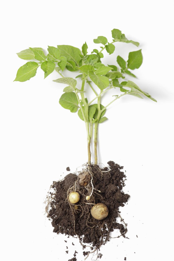 Potato Shoots!  Students experiment with planting a potato in a shoebox with a small hole cut in it, and over several weeks watch as potato shoots emerge from the hole.  #coolaustralia #education #teaching #teach #classroom #teacher #vegetablegardens #vegetables #snappyscience #science