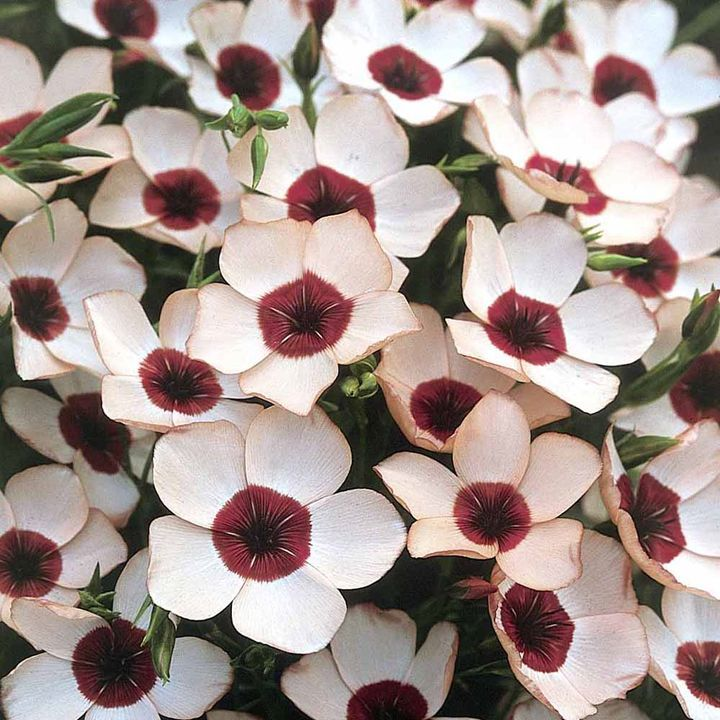 Linum Seeds - Charmer Salmon - New Flowers - Flowers - Garden - Dobies of Devon