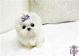 Micro Teacup Maltese Puppies - Bing Images