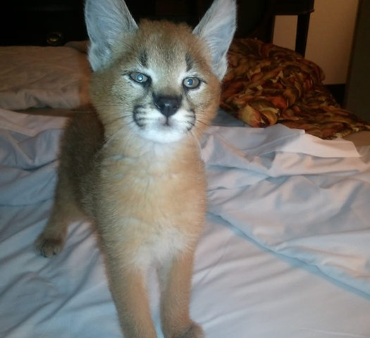 serval cat pet | Image of Caracal and Serval Kittens for sale from http ...
