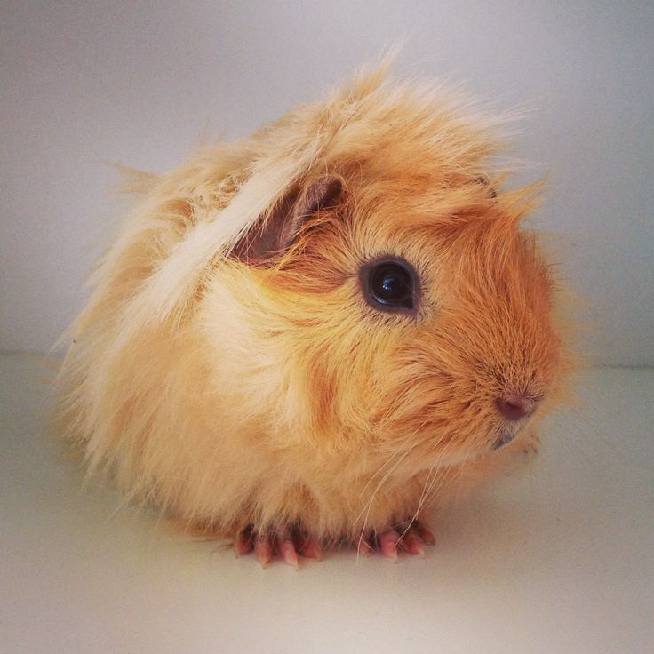 Best Guinea Pigness Images On Pinterest - Ludwig the bald guinea pig is winning the internets hearts