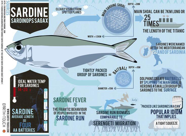 "Sardines, the stars of South Africa's annual ""Sardine Run"""