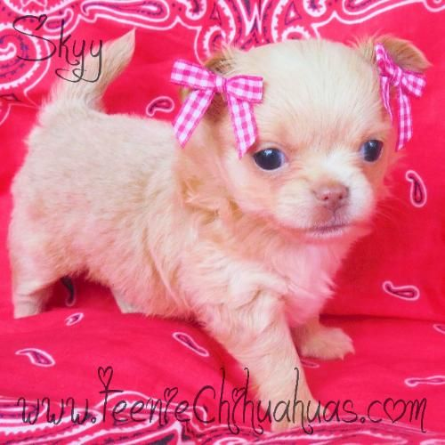 Chihuahua puppies for sale, chihuahua for sale, akc chihuahua, chihuahua breeder, AKC breeder, applehead chihuahua puppies for sale, longhaired chihuahuas for sale www.TeenieChihuahuas.com