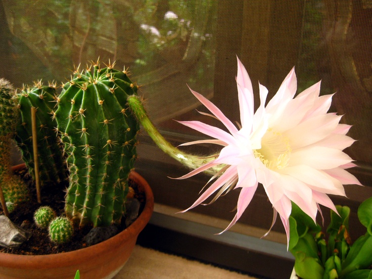 Meraviglioso fiore di una piccola pianta grassa.