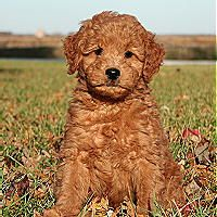 How cute is this little one?!  Maybe I should consider a mini goldendoodle for my next dog.