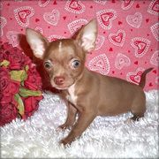 Chihuahua Puppies for Free   ... Dogs for sale, puppies for sale free ads Galway, ads for sale Galway