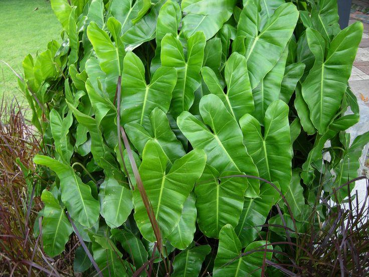 Philodendron 'Burle Marx' | Plant palette - Aroids ...