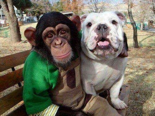 A Chimpanzee and an English Bulldog are Besties