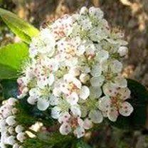 Appelbes  Alles over bessen kweken, rassen, staplaats, verkooppunten, verzorging, oogsten.