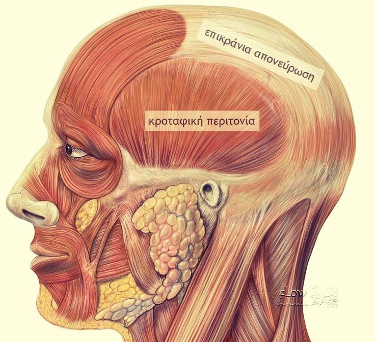 Κροταφική περιτονία και κροταφίτης μυς