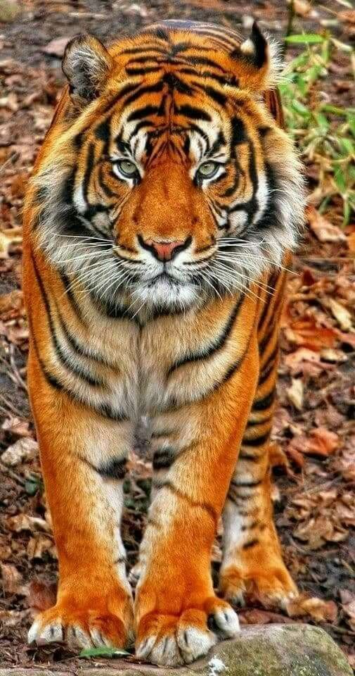 Wow..what a beautiful tiger. – #africaine #Beautif…