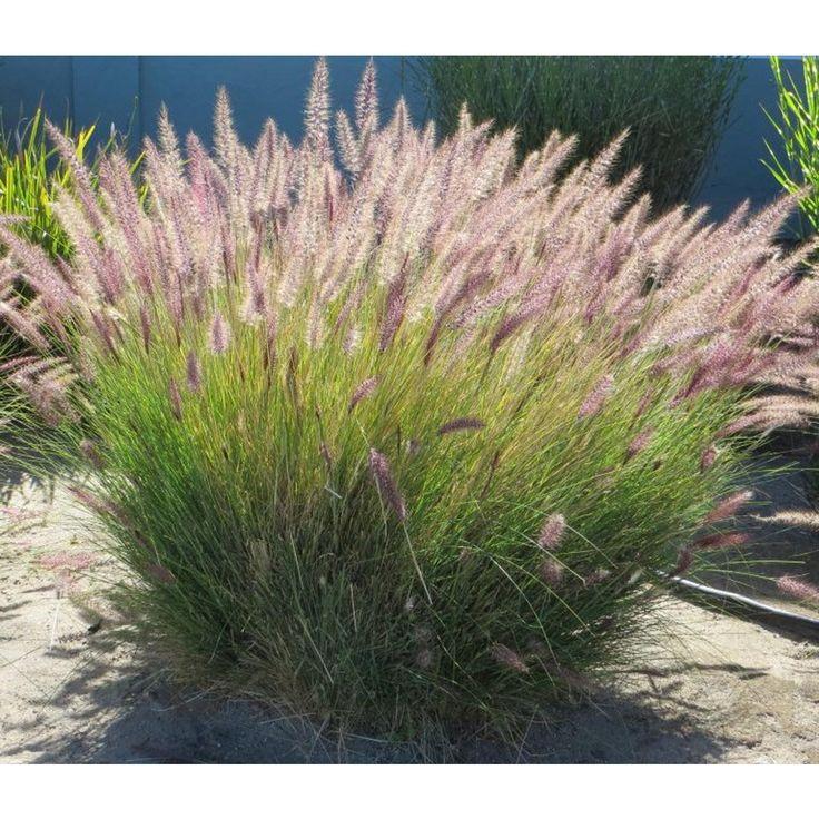 Pennisetum setaceum green - Grasses - Plant Type - Boething Treeland Farms
