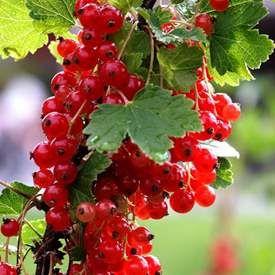 Röda vinbär 'Jonkheer van Teets'
