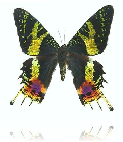 Urania Moths | Physics and Astronomy | University of Exeter