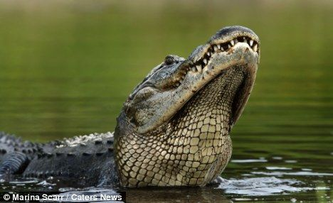 Delicious! The unlucky fish slips down the throat of it's hungry predator      Read more: http://www.dailymail.co.uk/news/article-2187530/I-want-dinner-make-snappy-Unlucky-fish-jumps-straight-mouth-hungry-alligator.html#ixzz23S56X8ZQ