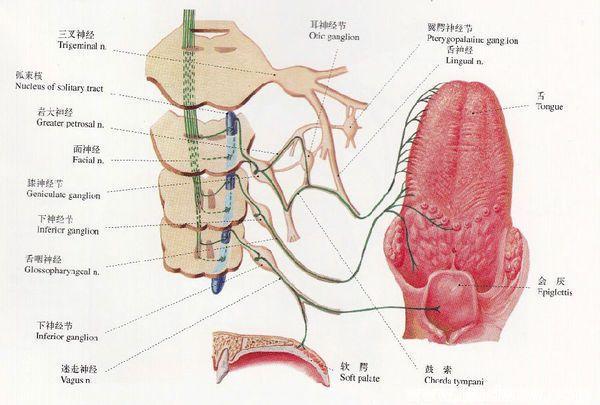 人体嗅区味器及其神经分布图片_人体图库_蓝色环岛卫生