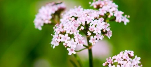 valerian root is nature's valium for dogs and cats. It produces a calming and soothing effect after oral administration by the pet owner