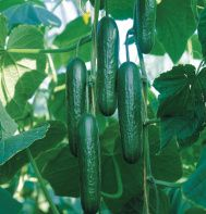 "SOCRATES. Dark green, thin-skinned, tender, sweet, seedless cucumber. 7-8"" fruits. WOW, I' m in !"