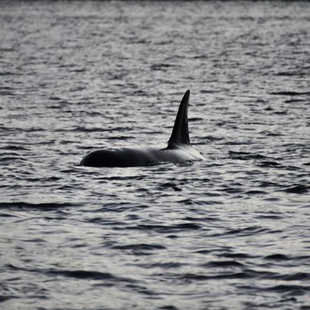 We also got to see killerwhales. And lot's of them -Truly AMAZING! #killerwhale #orca #whalesafari #kvaløya #tromsø #tromsøfriluftsenter #nordic #norway #scandinavia #topåtur #twodanesontour #danskerejseblogs #rejseblog #turengårtil #instanaturelover #instanaturefriends #animalphotography #animallovers #dolphins #norge #spækhugger #amazing