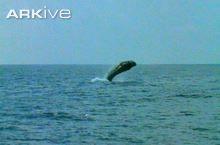 Sperm whale video - Physeter macrocephalus - 09b | ARKive