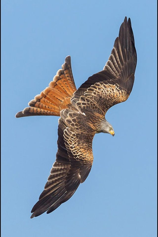 Yet another red kite labeled as a hawk!!
